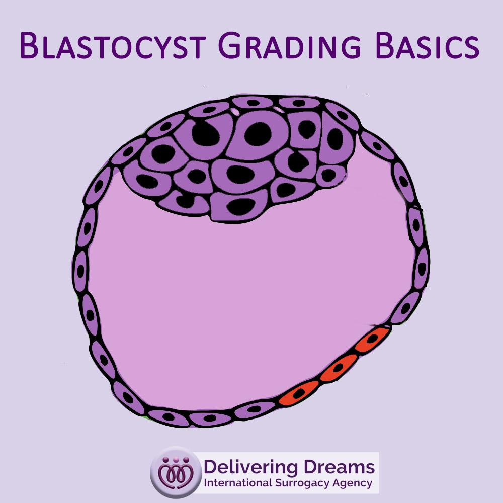 Blastocyst Grading Basics