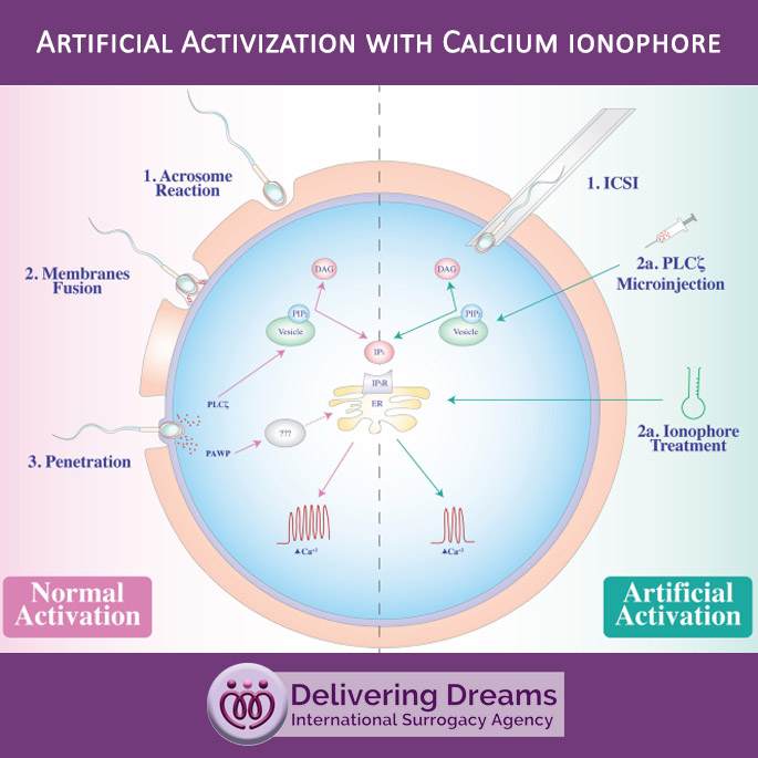 Artificial Activization with Calcium ionophore
